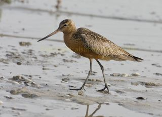 Bar-tailed-godwit_mg_1617